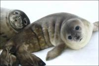 The Weddell seals are the best  divers